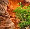 Sandstone and Tree, Zion National Park