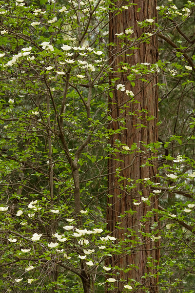 Dogwoods and Trunk