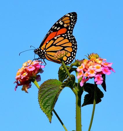 Monarch Colors