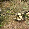 Papilio canadensis Butterflies