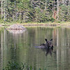 Moose feeding at Gentian Pond