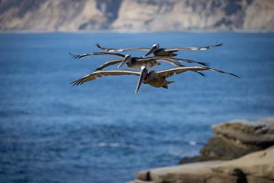 Pelicans soar near the sea cliffs