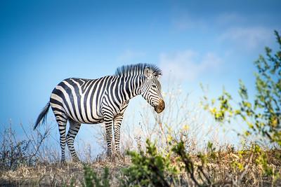 Zebra 4103