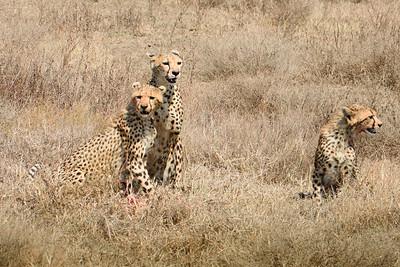 Cheetahs 2722