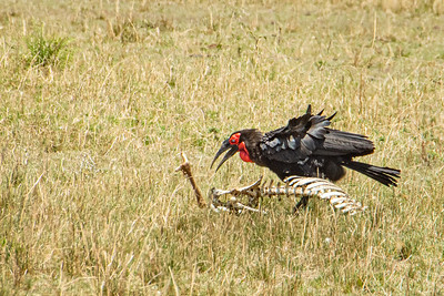 Southern Ground Hornbill 0781