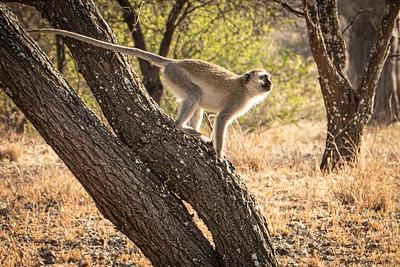 Vervet Monkey 4070