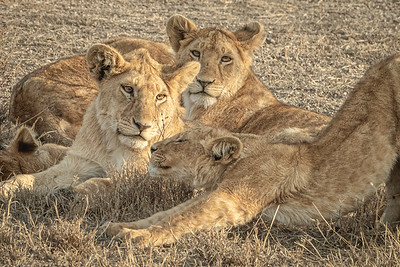 Lions Marsh Pride 3229