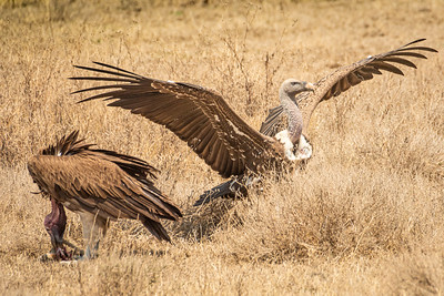Ruppell's Vulture 2919