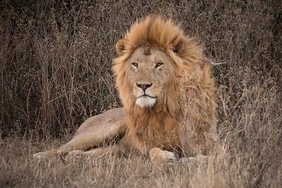 Lion Marsh Pride 3467