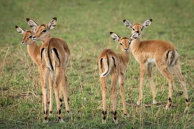 Impala Cuties 3404
