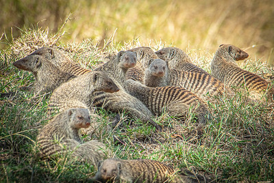 Banded Mongoose 0688