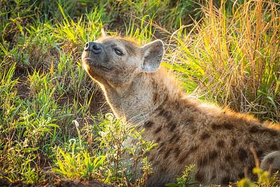 Hyena 1185