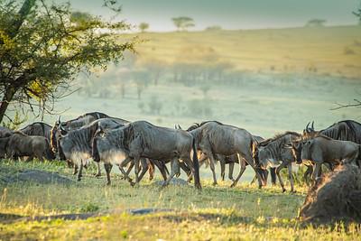 Wildebeast at Sunset Mara 0173