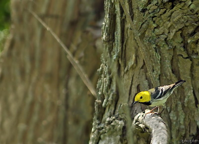 Hermit Warbler at The Willows