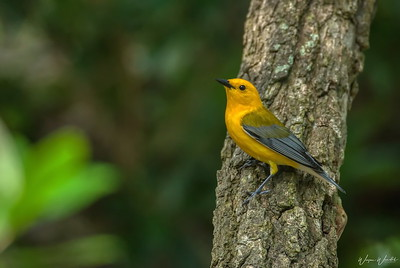 Prothonotary Warbler @ Smith Oaks, High Island HAS