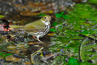 Ovenbird:   Yes it's a warbler.