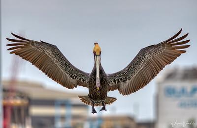 Brown Pelican In-Flight