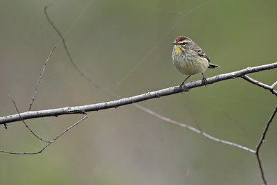 Palm Warbler:  Photographed at Attwater Prairie Chicken NWR, 2006