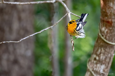 Blackburnian Warbler at Anahuac NWR