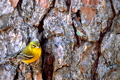 Pine Warbler at Bear Creek Park