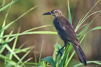 Great-tailed Grackle (female)