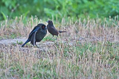 Bronzed Cowbird Mating Dance