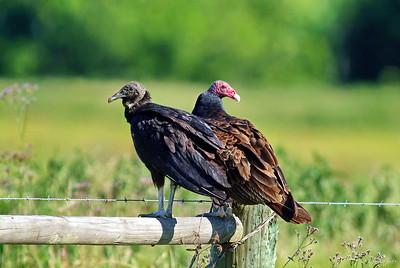 Black Vulture & Turkey Vulture