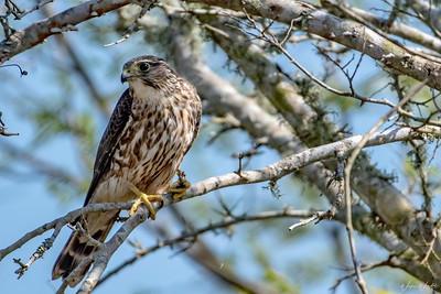 Merlin (Adult male)