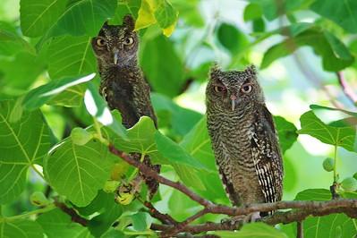 Eastern Screech Owl (Grey Morph)