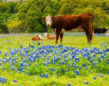 Cows & Bluebonnets