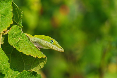 Anole Lizard at Attwater Refuge