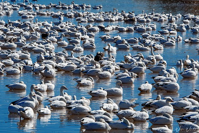 Snow Geese at Bosque del Apache NWR