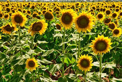 Sunflower Field Along FM159 in Grimes Co.