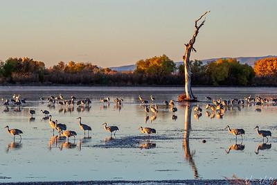 Sandhill Cranes at Sunrise @ Bosque del Apache
