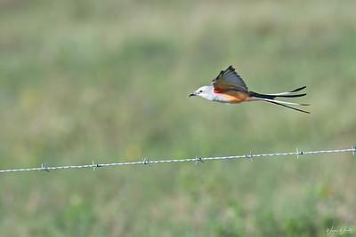 Success!  Scissor-tailed Flycatcher Returning with Breakfast