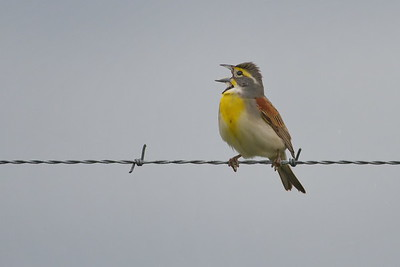 Dicksissel Singing in Attwater Refuge