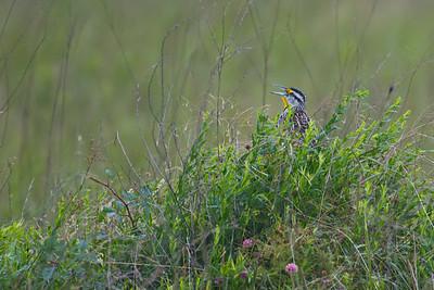 Eastern Meadowlark in Attwater Refuge