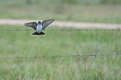Eastern Kingbird in Attwater's Refuge