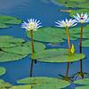 Lilies of Anahuac