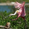 Pink:  Color of Breast Cancer Awareness Day  Roseate Spoonbill Landing