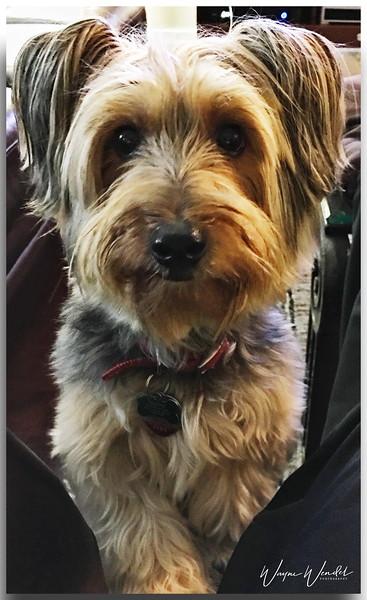 Tanner, my Silky Terrier