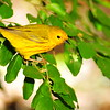 """Y"" is for Yellow Warbler"