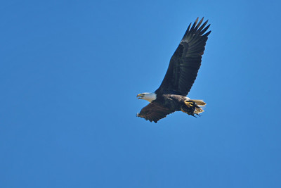 Bald Eagle with Prey Kill