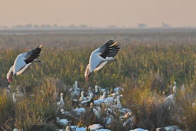 Snow Geese Landing on the Marsh