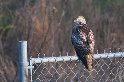 Red-tailed Hawk (Backside_View)