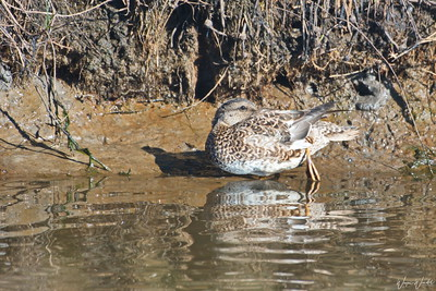 Blue-winged Teal (hen)