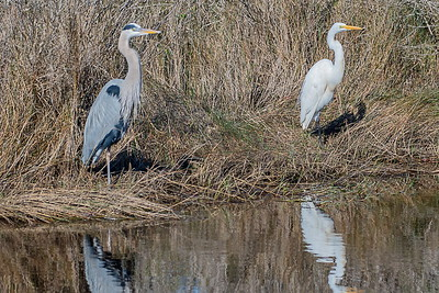 Great Blue Heron & Great Egret on the Bay Boat Ramp Road