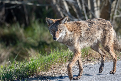 Coyote in the Road near the Visitors Center