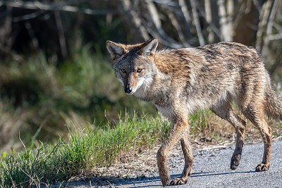Coyote Near the Visitor Center