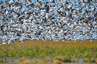 Snow Goose Flight